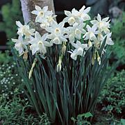 Daffodils Thalia Set of 12 Bulbs