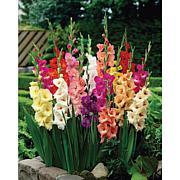 Gladiolus Large Flowering Rainbow Mixed Bulbs