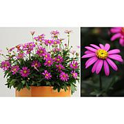 Leaf & Petal Designs 3-piece Radiant Magenta Mini Daisies