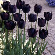 Tulips Queen of the Night Set of 12 Bulbs