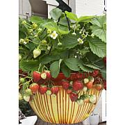 VanZyverden Cosmopolitan Hanging Strawberry Basket 10-piece Root Set
