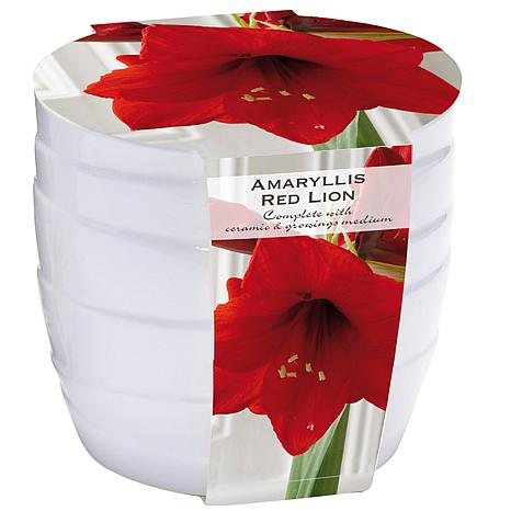 Amaryllis Kit Red Lion with White Swirl Ceramic Planter