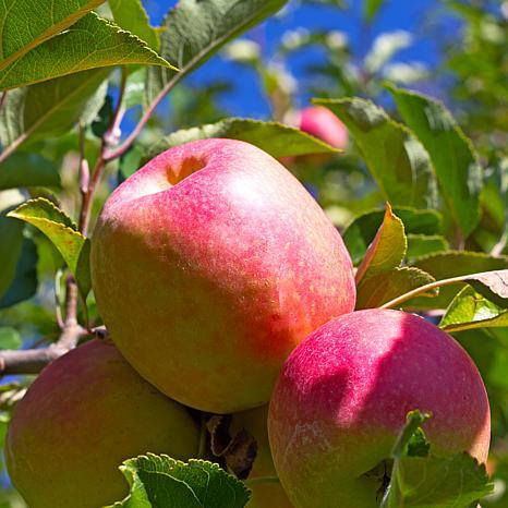 Apple Tree Fuji 1 Root Stock