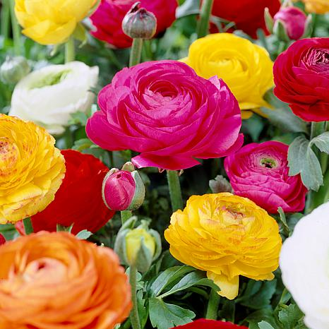 Butter Cups Ranunculus Double Blooming Mixed Set of 25