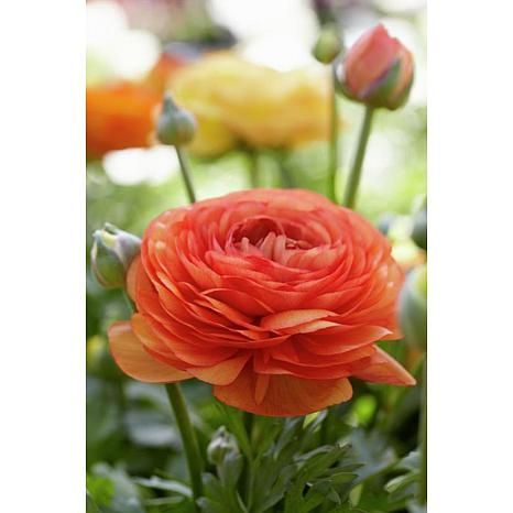 Butter Cups Ranunculus Double Tangerine Set of 25 Bulbs