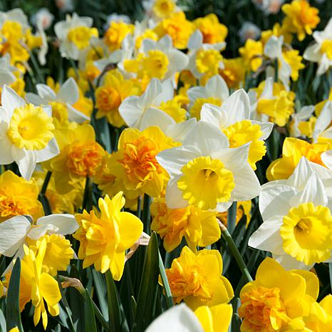 Daffodils Sunny Side Up Blend Set of 25 Bulbs