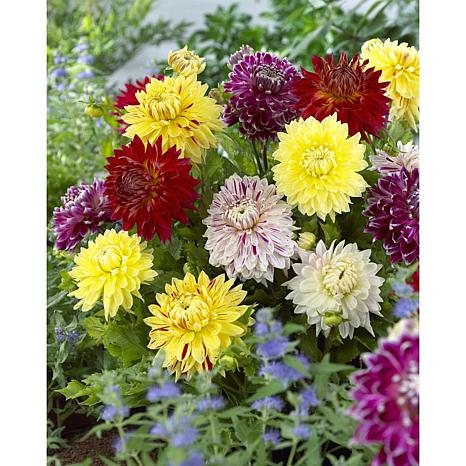 Dahlias Giant Blooming Dinnerplate Mixed Set of 7 Bulbs