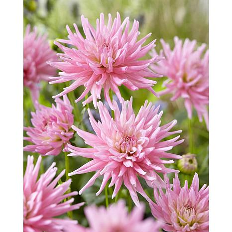 Dahlias Mother's Day Pink Set of 7 Bulbs