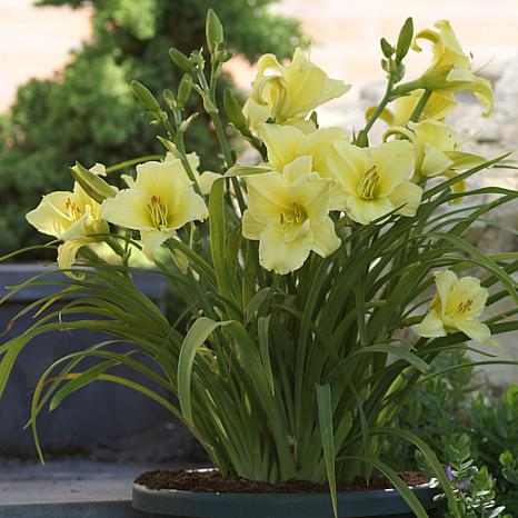 Daylilies Fragrant Returns Set of 3 Roots