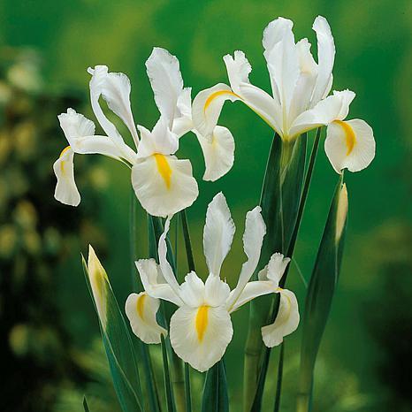 Dutch Iris Wedgewood Set of 25 Bulbs