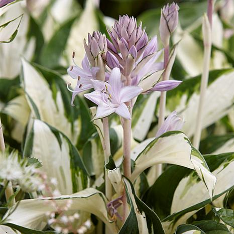 Hosta Fire and Ice Set of 3 Roots