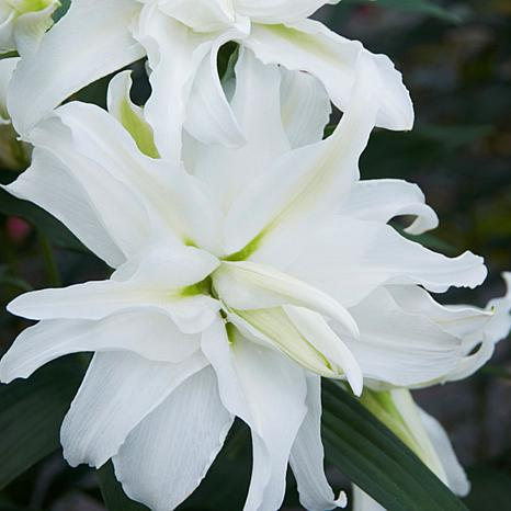 Lilies My Wedding Set of 7 Bulbs