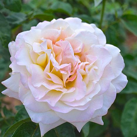 """""""Peace"""" Rose Root Stock"""