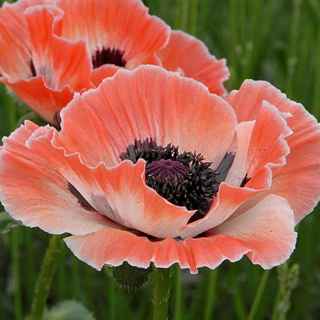Poppies Carnival Set of 3 Roots