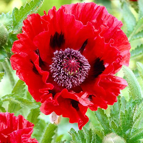 Poppies Red Set of 5 Roots