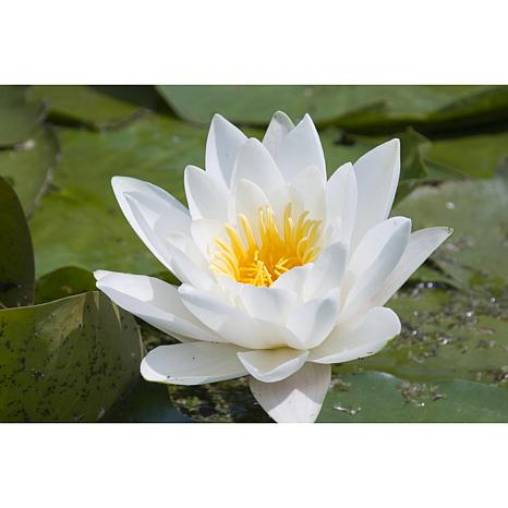 Premium Series Water Lily Hermine Kit