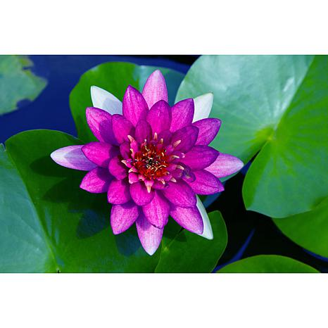 Premium Series Water Lily Nero Kit
