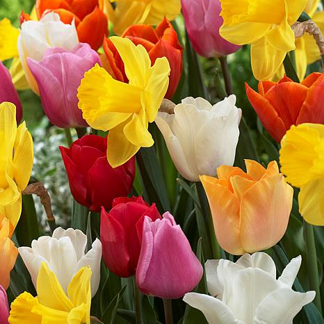 Tulips & Narcissus Pot Luck Mixture Set of 50 Bulbs