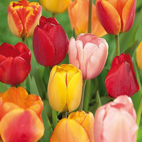 Tulips Darwin Hybrid Mixture Set of 50 Mammoth Bulbs