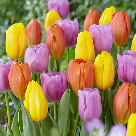 Tulips Pastel Parade Blend Set of 15 Bulbs