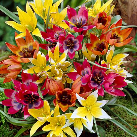 Tulips Perennial Mixture Set of 100 Bulbs