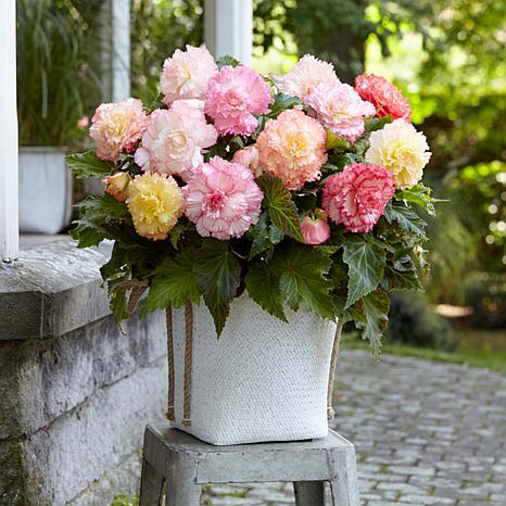 Van Zyverden Container Begonias Double Pastel Bulbs 5-pack