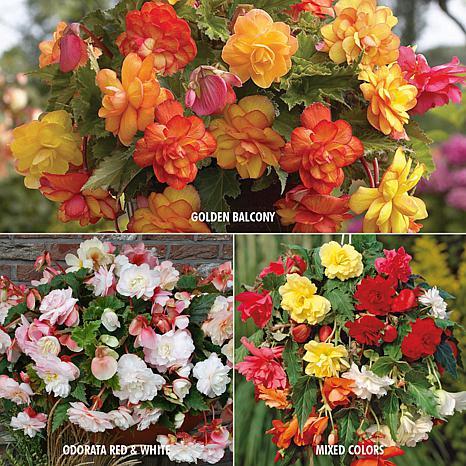 VanZyverden Begonia 3 Varieties 15-piece Bulb Set