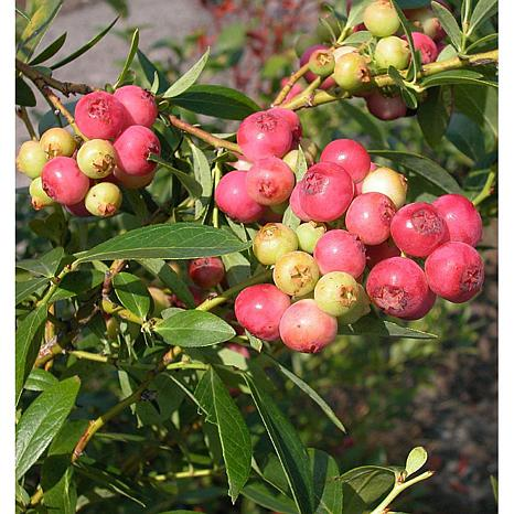 VanZyverden BlueBerry Pink Lemonade 3-piece Plant Set