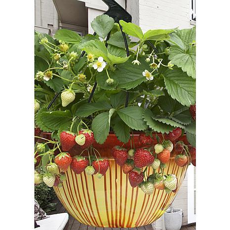 VanZyverden Cosmopolitan Hanging Strawberry Basket 10-piece Root Set