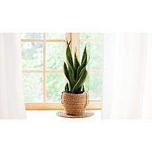 Leaf & Petal Designs 1-piece Laurentii Snake Plant