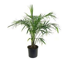 Leaf & Petal Designs 1-piece Majesty Palm