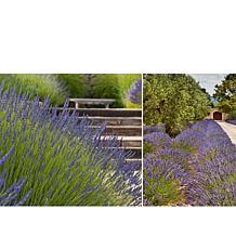 Leaf & Petal Designs 3-piece Phenomenal Lavender