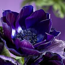 Wind Flowers Anemones Darkest Blue Set of 25 Bulbs