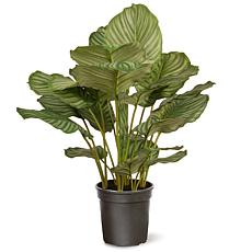 "30"" Artificial Calathea Plant"