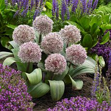 Allium Karataviense Set of 7 Bulbs