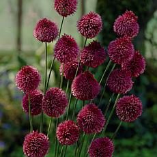 Allium Sphaerocephalon Set of 25 Bulbs