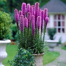 Blazing Star Liatris Spicata Set of 25 Bulbs