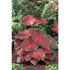 Caladiums Fancy Leaf Red Flash Set of 6 Bulbs