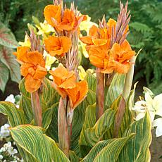 Cannas Pretoria Set of 5 Bulbs