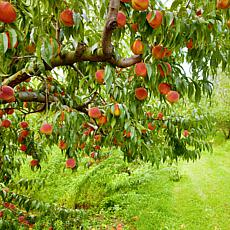 Contender Peach Tree  Root Stock