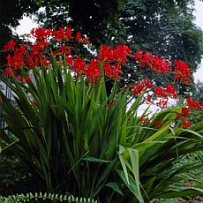 Crocosmia Giant Lucifer - 12 Mammoth Bulbs