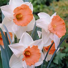 Daffodils Chromacolor Set of 12 Bulbs