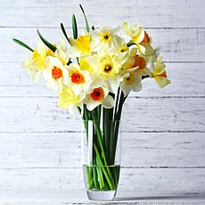 Daffodils Cutting Garden Vase Mixture Set of 25 Bulbs