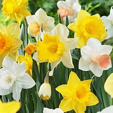 Daffodils Naturalizing Dream Mixture Set of 25 Bulbs