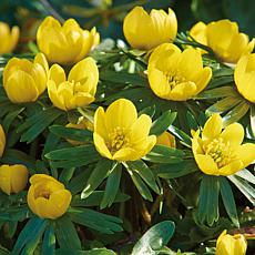 Eranthis Winter Aconite Set of 50 Bulbs