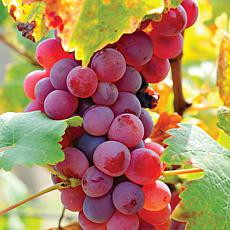Flame Seedless Grapes - 1 Plant