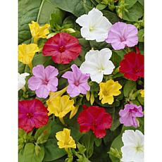 Four O Clock's Mirabilis Jalapa Mixed Set of 9 Bulbs