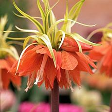 Fritillaria Aureo Marginata Set of 3 Bulbs