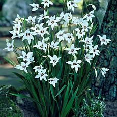 Gladiolus Acidanthera Set of 25 Bulbs