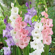 Gladiolus Best Pastel Blend Set of 25 Bulbs
